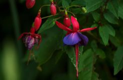 Fuchsia plant red and purple macro closeup,. Fuchsia, red and purple, Onagraceae, Lady`s Eardrops, Photo taken in New Hampshire USA royalty free stock photos