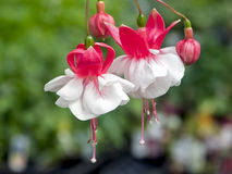 Fuchsia, Red and White Flowers Stock Image