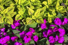 Yellow Green and Fuchsia Red Flower Bed Background stock photos