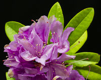 Fuchsia Rhododendron royalty free stock photo