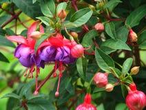 Fuchsia in rood en roze stock fotografie