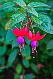 Fuchsia in rood-Purple Royalty-vrije Stock Afbeelding