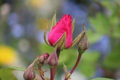 Fuchsia rose macro royalty free stock photos