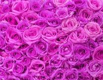 Fuchsia Roses. Background Stock Images