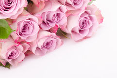Fuchsia roses Stock Photography