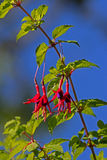 Fuchsia rouge Photos stock
