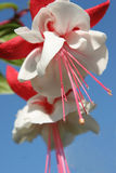 Fuchsia rouge et blanc Images libres de droits