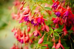 Fuchsia in it`s full glory. The many glorious purple and red fuchsia flowers creating great garden colour stock photography