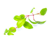 Fuchsia seedling with visible root against Stock Image