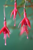 Fuchsia show 4. Three red fuchsia flowers on blurred green background Royalty Free Stock Photography