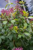 Fuchsia solanaceae plant blooming with pink flower buds. Close up stock images