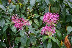 Fuchsia solanaceae plant blooming with pink flower buds. Close up stock photography