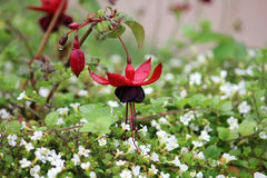 Fuchsia som är röd och som är svart med regndroppar royaltyfri bild