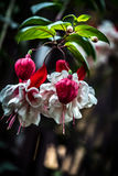 Fuchsia. Some Fuchsia Buds Blooming Together Royalty Free Stock Photography