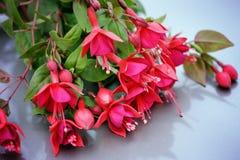 Beautiful fuchsia flower royalty free stock photo