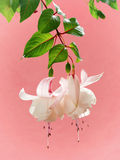 Fuchsia Trailing Annabelle on pink background Royalty Free Stock Images