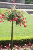 Fuchsia Tree with red flowers Stock Photography