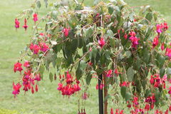 Fuchsia Tree with red flowers Stock Images