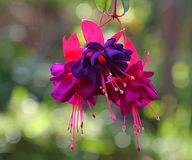 Fuchsia Triplets. Macro shot of three blooms of the fuchsia flower royalty free stock images