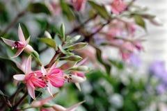Beautiful fuchsia flower stock photos