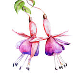 Fuchsia watercolor. On white background Stock Photography