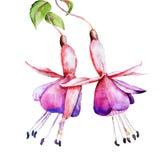 Fuchsia watercolor Stock Photography