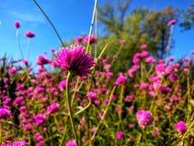 FuchsiaAllium blommar mot den blåa himlen royaltyfria foton