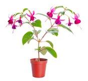Fuchsiablommahouseplants i blomkruka Arkivbild
