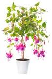 Fuchsiablommahouseplants i blomkrukan, Tennessee Walts Arkivfoton