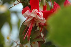 Fuchsiahybrida Hort Royaltyfria Foton