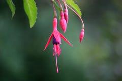 Fuchsiakleurig bloem Royalty-vrije Stock Afbeelding