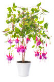 Fuchsiakleurig bloem houseplants in bloempot, Tennessee Walts Stock Foto's