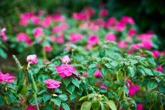 Fuchsiakleurig bloemen Royalty-vrije Stock Afbeelding