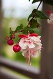 Fuchsiakleurig bloemen Royalty-vrije Stock Fotografie