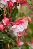 Fuchsiakleurig bloemen Stock Foto's