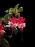 Fuchsiakleurig bloemen op zwarte achtergrond Stock Foto's
