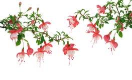 Fuchsiakleurig bloemen over witte achtergrond Stock Foto