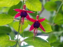 Fuchsiakleurig bloemroze en groen Royalty-vrije Stock Foto