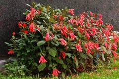 Fuchsiakleurig boliviana Royalty-vrije Stock Afbeelding