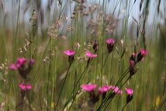 Fuchsiakleurig chinensis Dianthus Royalty-vrije Stock Afbeelding