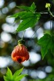 Fuchsiakleurig hybrida Royalty-vrije Stock Foto