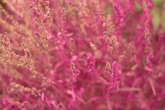Fuchsiakleurig kochiabloemen stock afbeeldingen