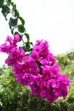 Fuchsiakleurig roze bougainvillea Royalty-vrije Stock Foto's