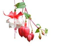 Fuchsialena blomma Royaltyfri Fotografi