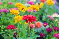 Fuchsian blommar på suddighetsbakgrund Royaltyfri Bild