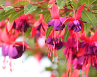 Fuchsias Pink and Purple Hanging Flowers. Part of the Onagraceae Genus, Fuchsia are evergreen shrubs with green opposite or whorled leaves. Also known as Stock Images