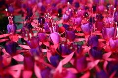 Fuchsias sur l'eau Images libres de droits