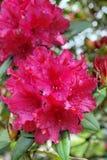 Fuchsie farbiges Rhododrendron stockbilder