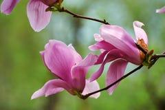 The fuchsin flowers Stock Photo