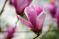 The fuchsine flowers Stock Photos
